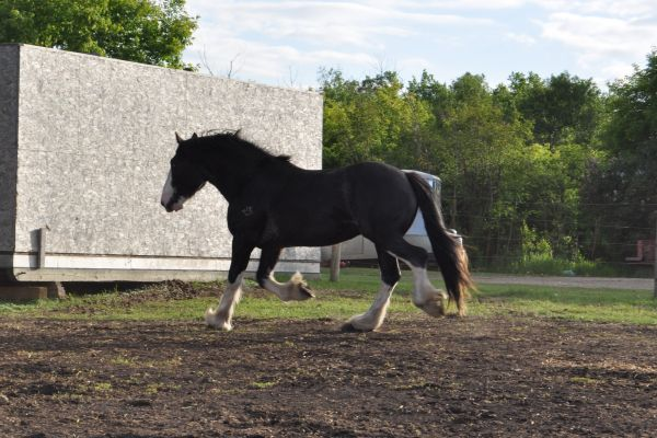 Black Clydesdale Stallion for Sale in Alberta