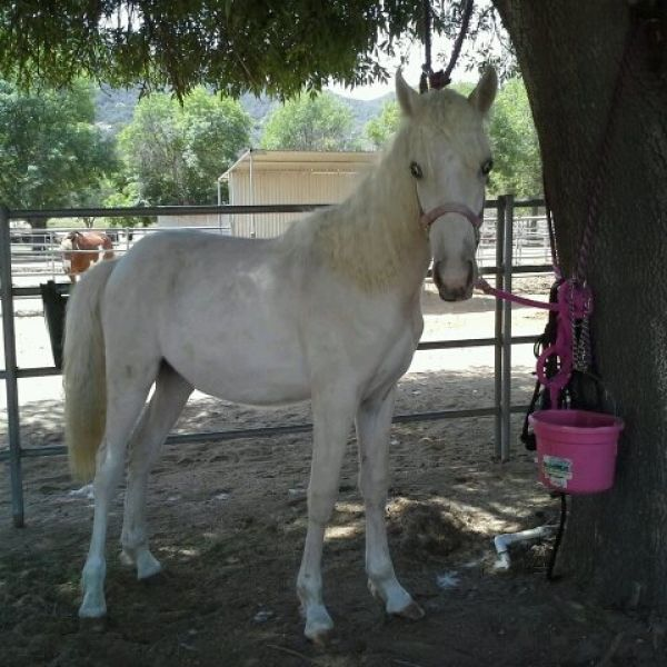 Palomino Tennessee Walking Horse for Sale in California