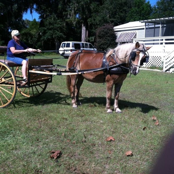 Palomino Haflinger Horse for Sale in Florida