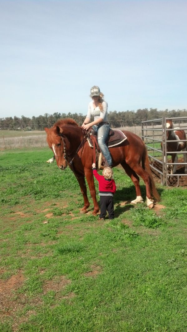 Red Dun Peruvian Paso Horse for Sale in California