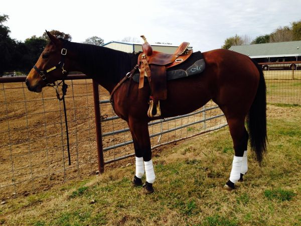 Bay Quarter Horse for Sale in Louisiana