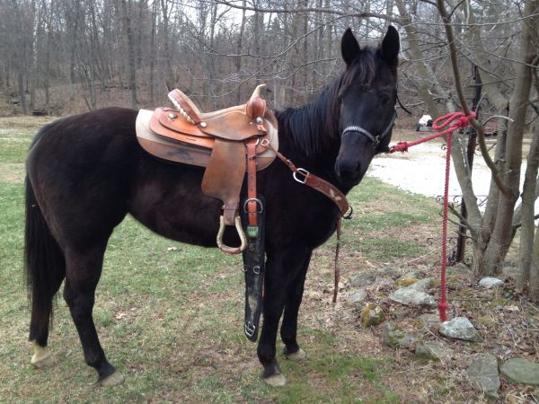 Black Paint Horse for Sale in Indiana