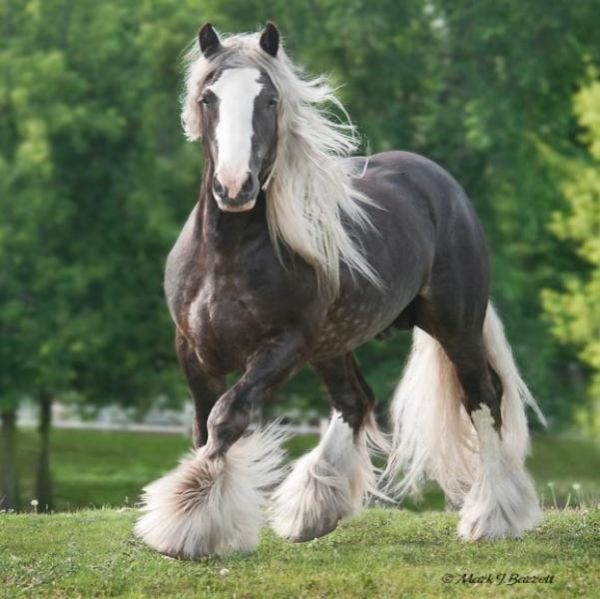 Silver Dapple Gypsy Vanner Stallion