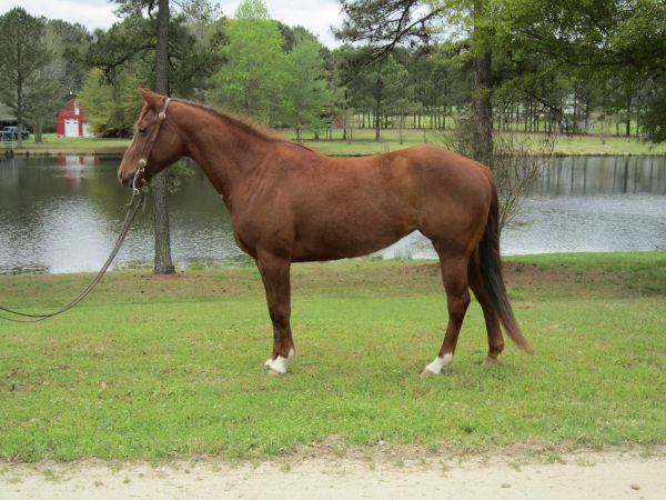 Chestnut Quarter Horse for Sale in North Carolina