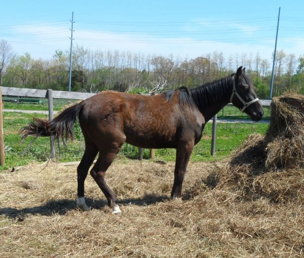 Black Tennessee Walking Horse for Sale in