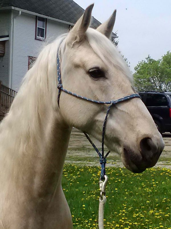 Palomino Missouri Fox Trotter Horse for Sale in Wisconsin