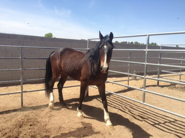 Bay Tennessee Walking Horse for Sale in Nevada