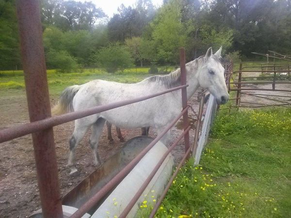 White Quarter Horse for Sale in Alabama