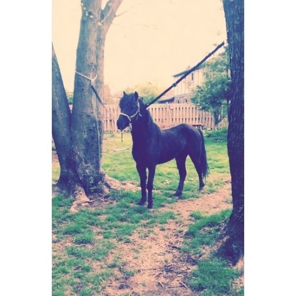 Black Shetland Pony Stallion for Sale in Indiana
