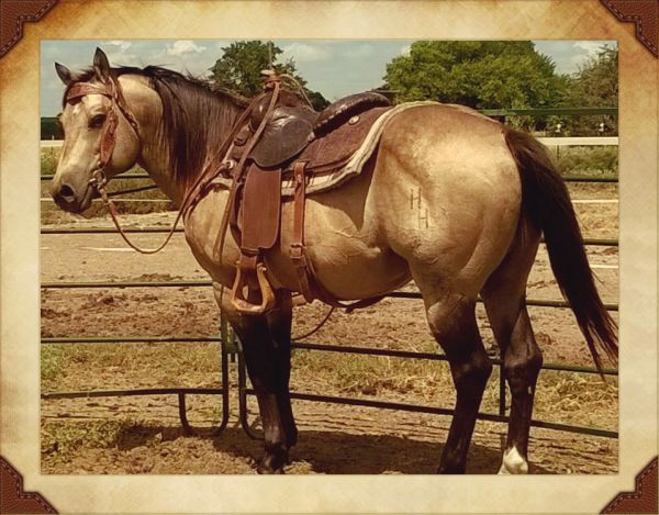 Dunskin Quarter Horse Stallion for Sale in Texas