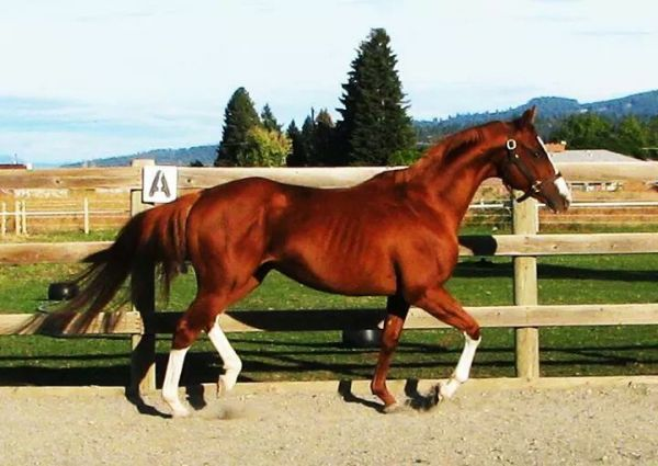 Chestnut Thoroughbred Stallion for Sale in Washington