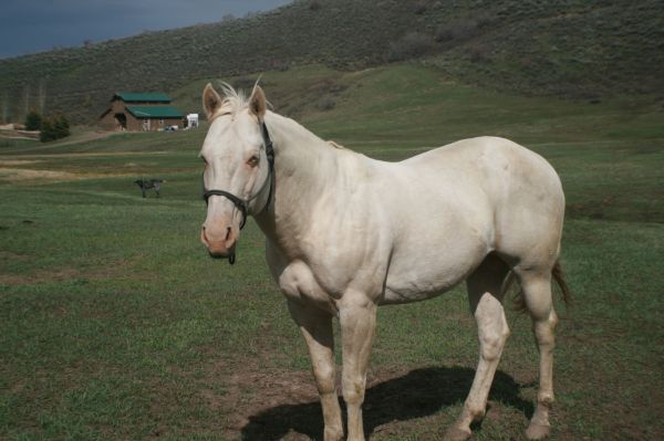 Cremello Quarter Horse Stallion for Sale in Colorado