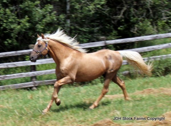 Palomino Morgan Stallion for Sale in Ontario