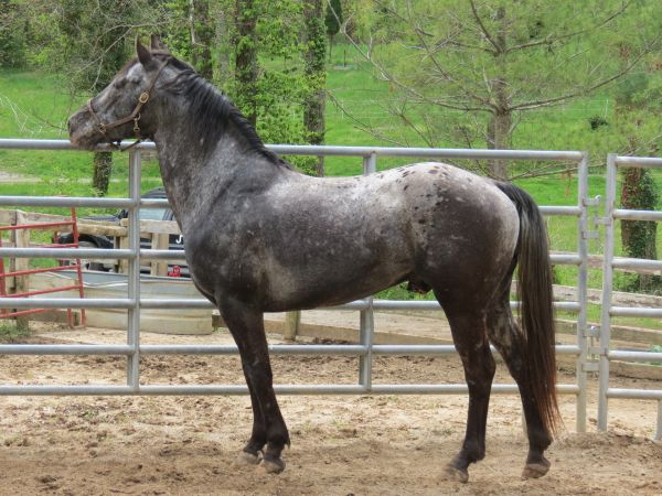 Black Appaloosa Stallion for Sale in Kentucky