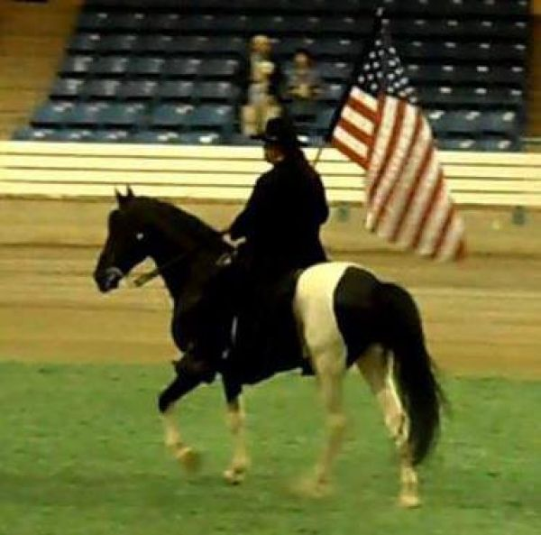 Tobiano Spotted Saddle Stallion for Sale in Florida