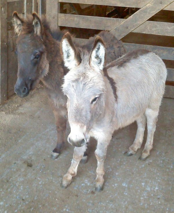 Grey Donkey Horse for Sale in New York