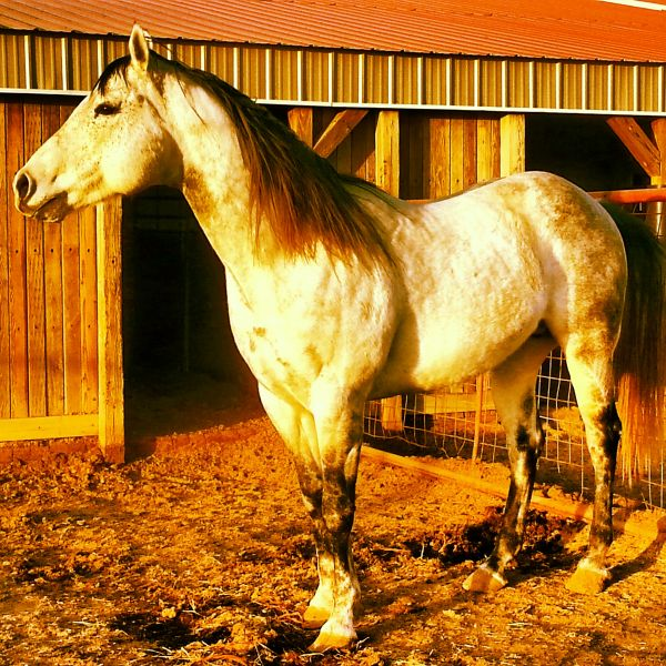 Grey Quarter Horse Stallion for Sale in Oklahoma
