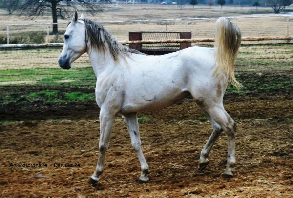 Grey Arabian Stallion for Sale in Texas