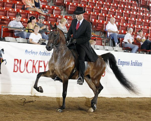 Bay Arabian Horse for Sale in Tennessee