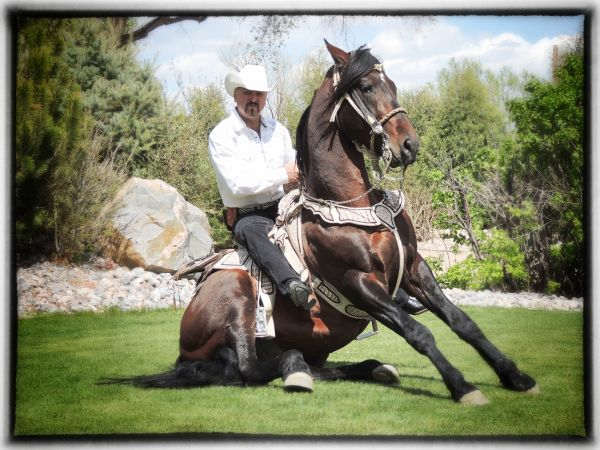 Brown Andalusian Stallion for Sale in Colorado