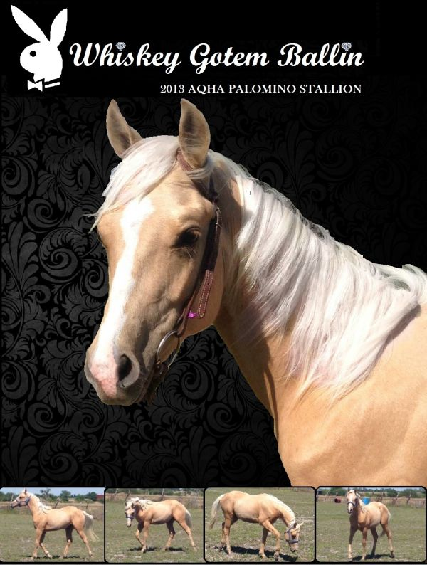 Palomino Quarter Horse Stallion for Sale in Texas