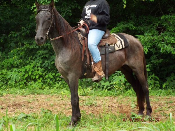 Blue Roan Tennessee Walking Horse for Sale in Kentucky