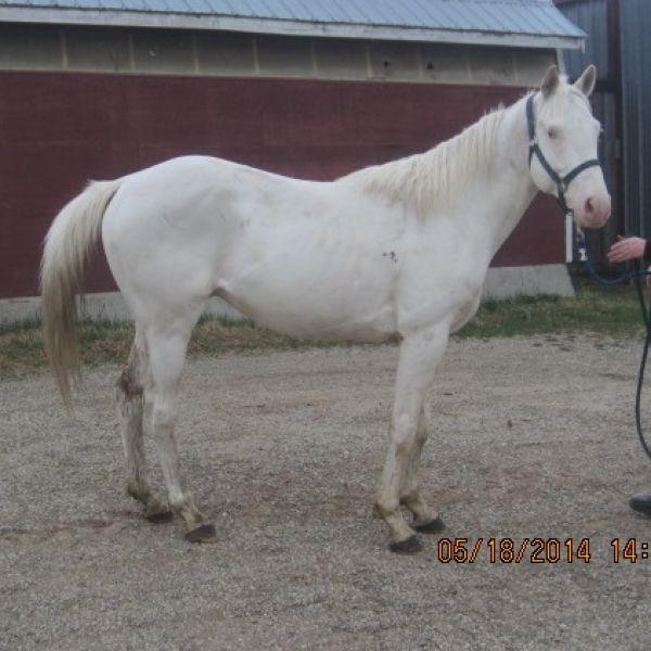 White Thoroughbred Stallion