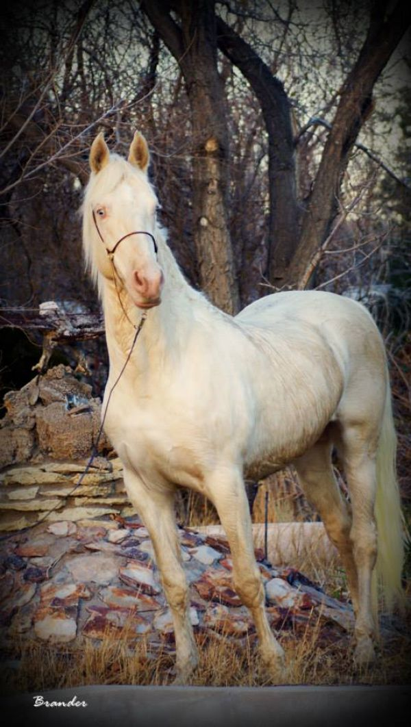 Cremello Saddlebred Stallion for Sale in Nevada