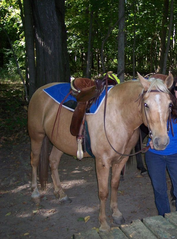 Palomino Missouri Fox Trotter Horse for Sale in Iowa