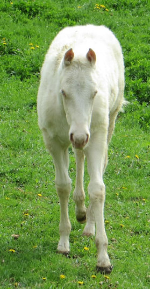 Cremello Quarter Horse Filly