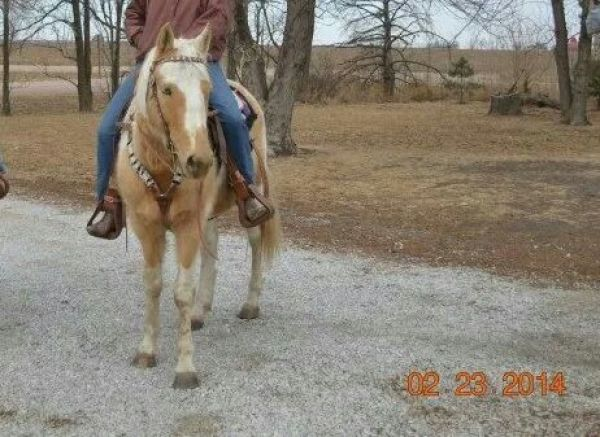 Palomino Paint Horse for Sale in Nebraska