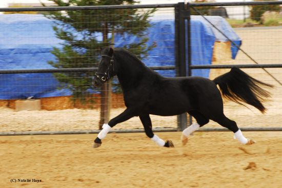 Black Welsh Pony Stallion
