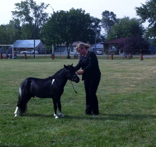 Black Miniature Stallion for Sale in Ontario
