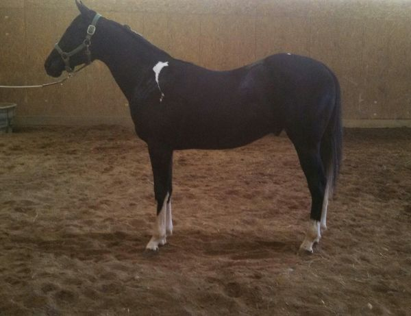 Tobiano Paint Horse for Sale in Ohio