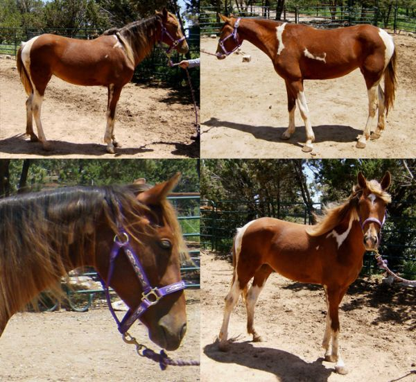 Other Spotted Saddle Horse for Sale in New Mexico