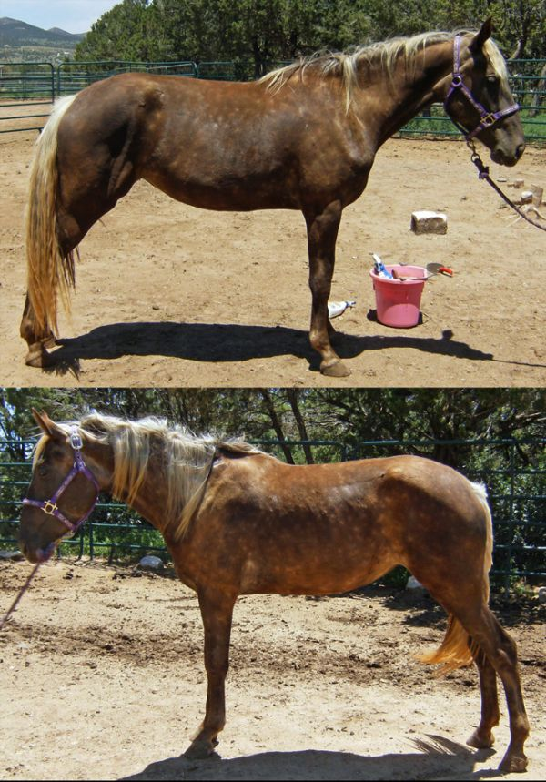 Chocolate Kentucky Mountain Horse for Sale in New Mexico