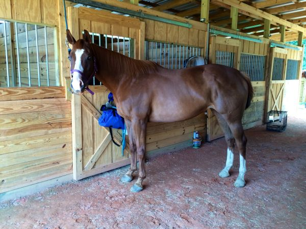 Sorrel Appendix Horse for Sale in Louisiana