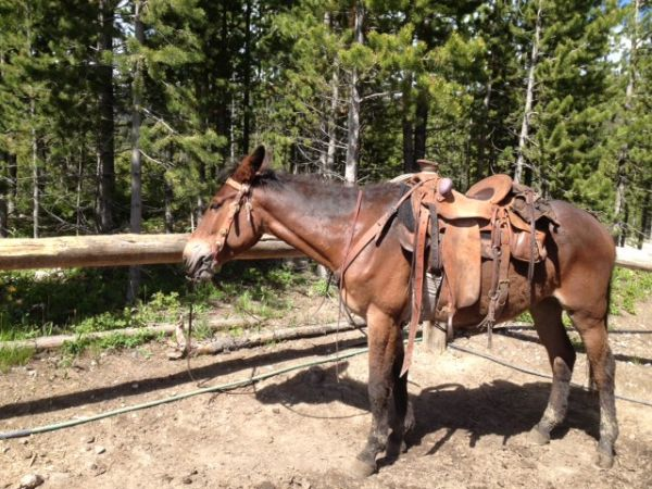 Bay Mule Horse for Sale in Montana