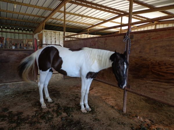 Tobiano Paint Horse for Sale in Texas