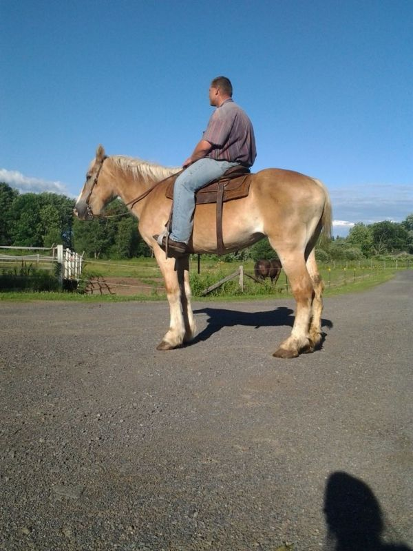 Palomino Belgian Horse for Sale in New York