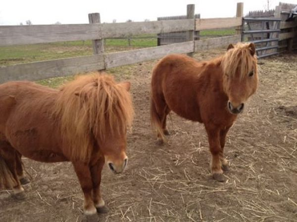 Chestnut Miniature Horse for Sale in Ohio