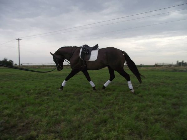 Grulla Quarter Horse Stallion for Sale in Washington