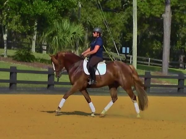 Liver Chestnut Warmblood Horse for Sale in Florida