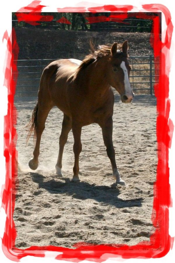 Sorrel Appaloosa Horse for Sale in California