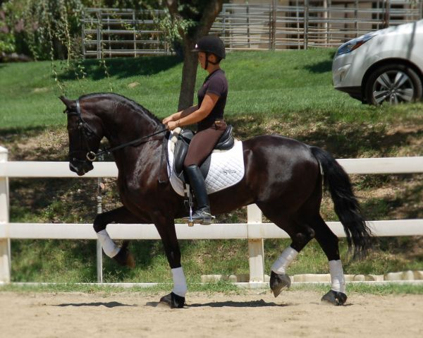 Black Friesian Horse for Sale in California