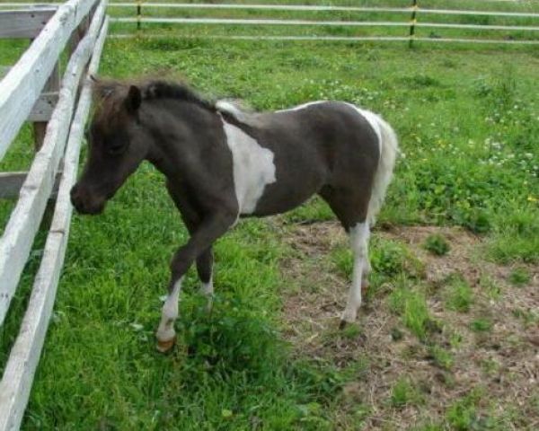 Pinto Miniature Horse for Sale in New York