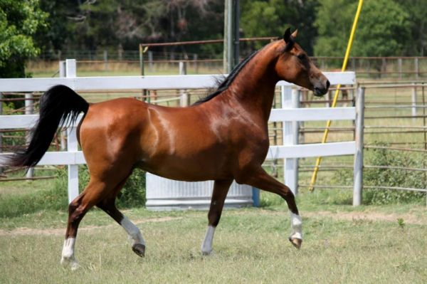 Bay Arabian Horse for Sale in Texas