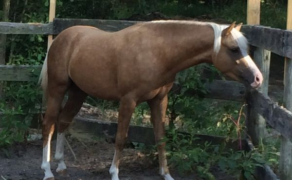 Palomino Crossbred Pony Stallion for Sale in South Carolina