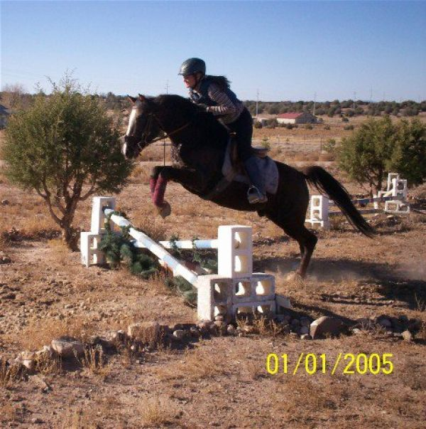 Chestnut Morgan Stallion for Sale in Arizona