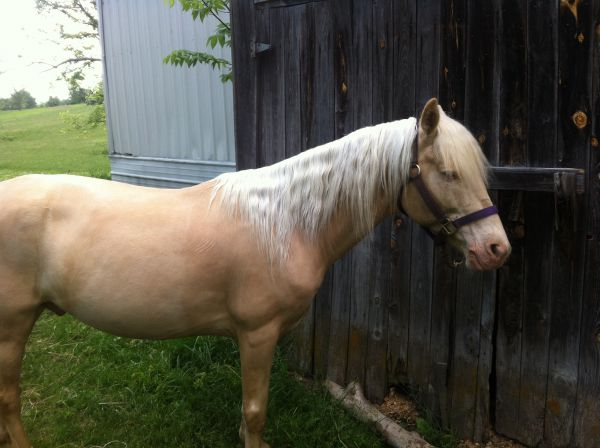 Cremello Kentucky Mountain Stallion for Sale in